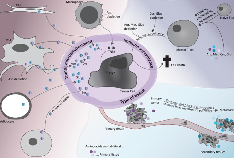 氨基酸消耗疗法的途径与挑战
